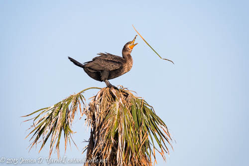 Double-crested Cormorant Nesting Material Toss-up