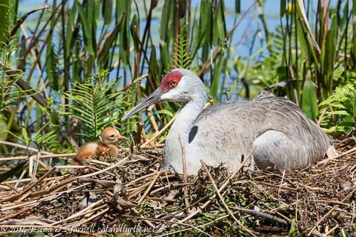 Mom and Baby Sandhill Crane on the Nest