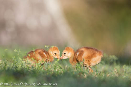 Sssh--it's-a-Secret!  Young Sandhill Crane siblings contemplate the silly-looking photographer nearby