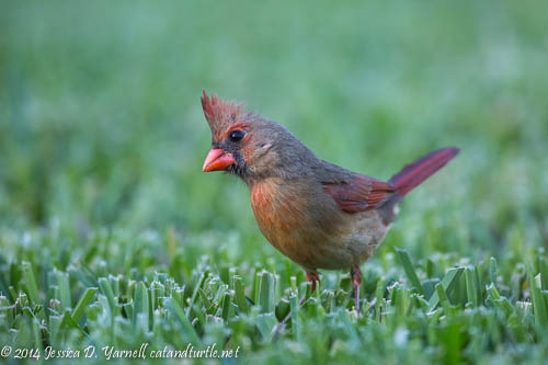 Female Cardinal in Breeding Plumage