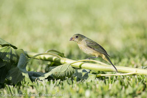 Female Painted Bunting on Sunflower Seed (digital composite)