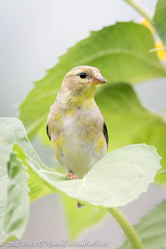 American Goldfinch in my Backyard - posing on a sunflower