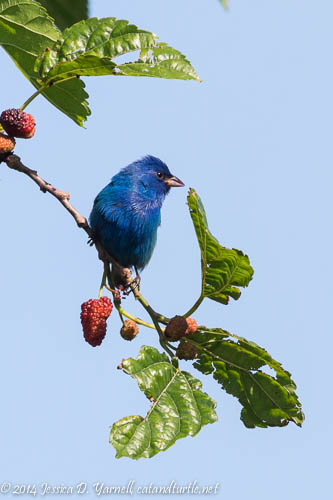 Male Indigo Bunting Eating Mulberries