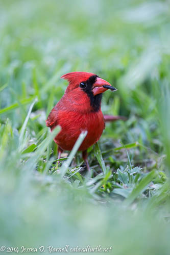 Mr. Cardinal with Sunflower Seed