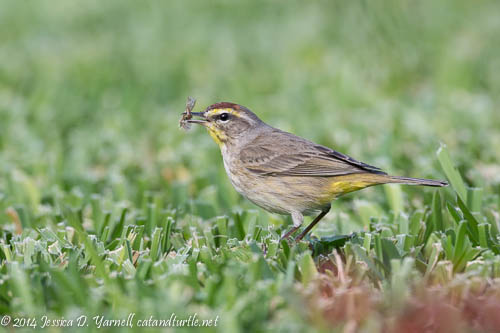 Palm Warbler with Snack