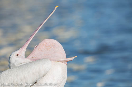 Beak Stretch!  American White Pelican