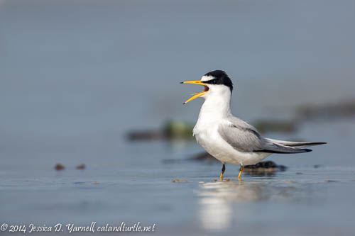 Least Tern Calling For Her Mate