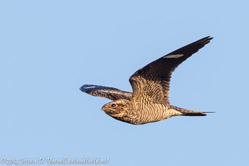 Common Nighthawk in Flight