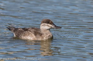 Late Ruddy Duck
