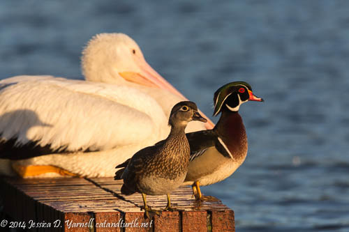 The Odd Trio - American White Pelicans and Wood Ducks