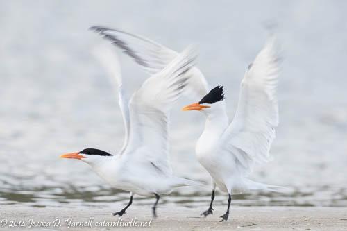 Royal Tern Wing Flap