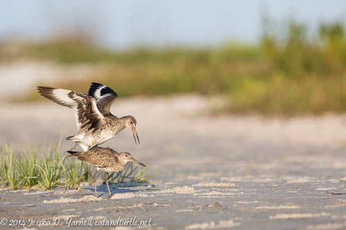 Willet Couple