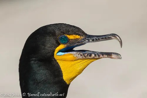Double-crested Cormorant - Breeding Blue Eyes and Mouth