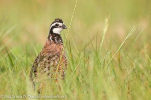 Northern Bobwhite in the Grass