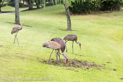 Family-of-Four---Sandhill-Cranes_Backyard_201406111_copyrightJessYarnell