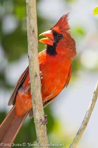 Papa Cardinal