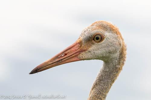 Juvenile Sandhill Crane Head Shot