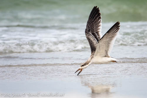 Black Skimmer Juvenile Skimming!