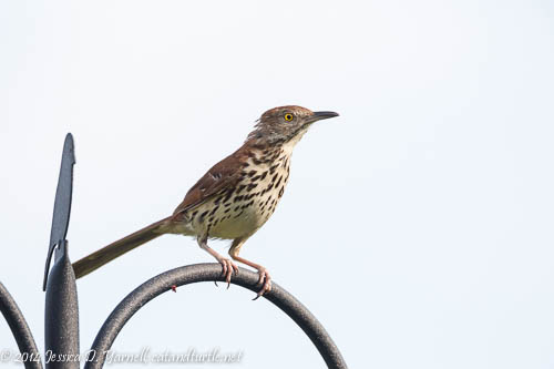 Parent Brown Thrasher
