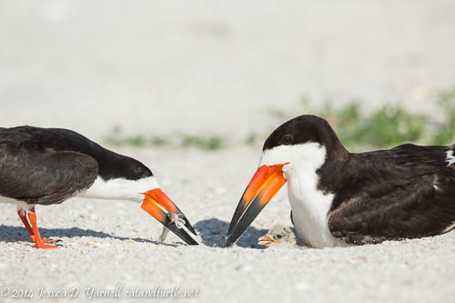 Surprise!  Newborn Black Skimmer