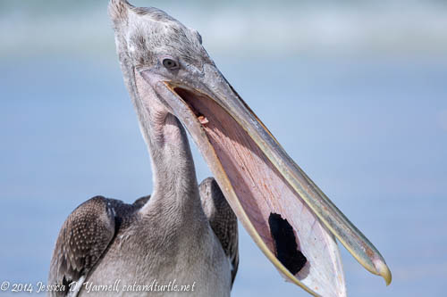 What a Mouthful for a Juvenile Brown Pelican