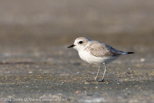Lifer Snowy Plover!