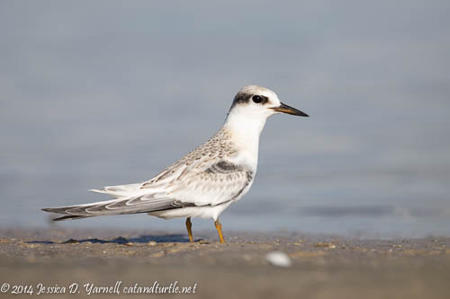 Juvenile Forster's Tern