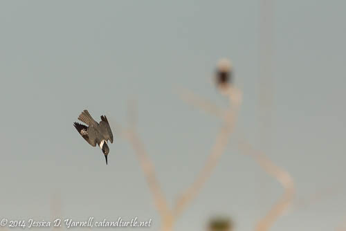Belted Kingfisher Dive