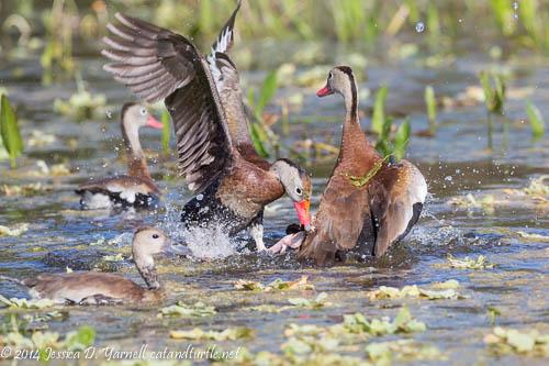 Duck Dispute