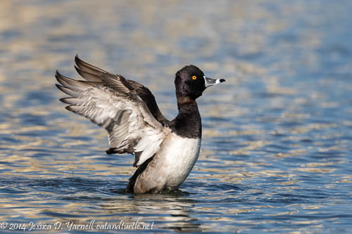 Ring-necked Duck Wing-Flap