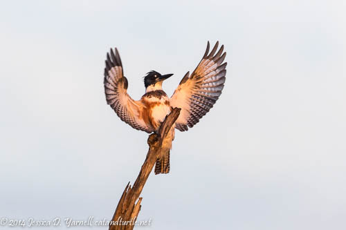 Belted Kingfisher Show-Off