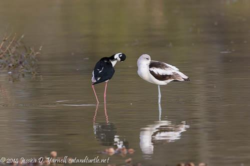 Black-necked Stilt and American Avocet