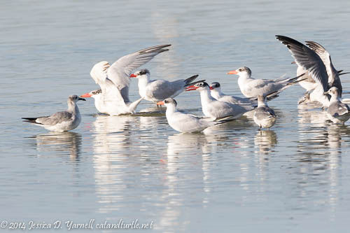 Caspian Terns and Laughing Gulls