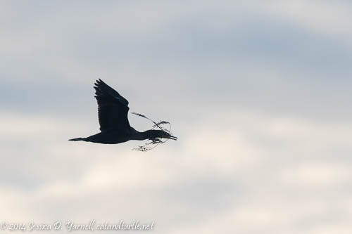 Double-crested Cormorant with Nesting Material