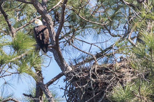 Adult Bald Eagle and Baby in Nest
