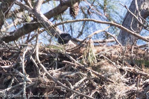 Baby Eaglet!