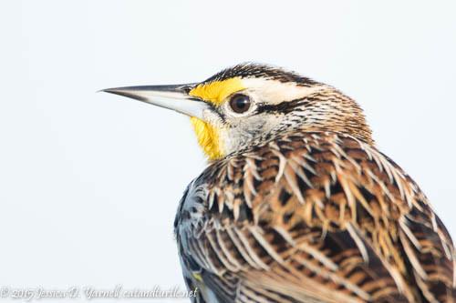 Eastern Meadowlark Head Shot