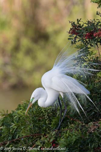 Great Egret Breeding Lace