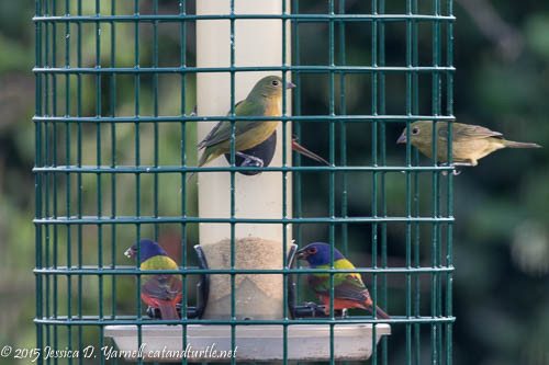 Painted Buntings at Bird Feeder