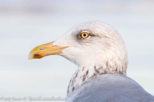 Herring Gull Head Shot