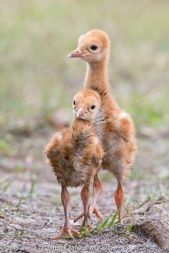 This Year's Sandhill Crane Colts