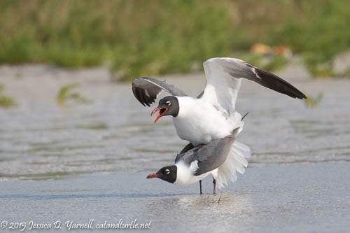 Laughing Gulls in Love