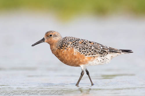 Red Knot Molting into Breeding Plumage