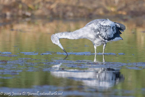 """Calico"" Little Blue Heron"