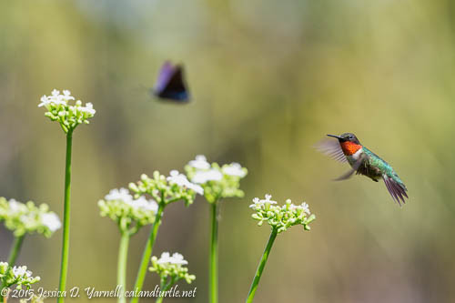 Ruby-thoated Hummingbird Chases Butterfly