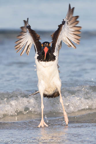 American Oystercatcher Wing-Flap