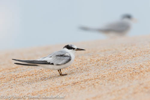 Juvie Least Tern