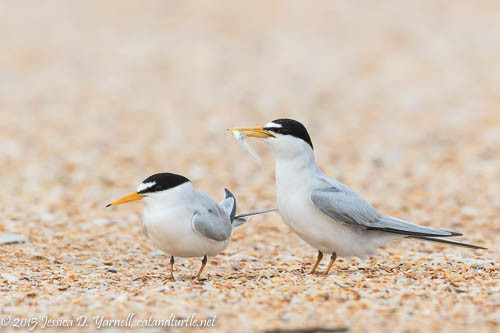 Least Tern Fish Courtship