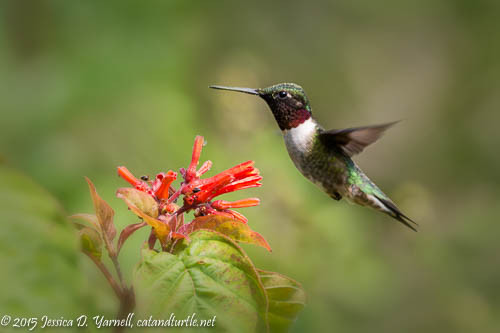 Ruby-throated Hummingbird at Firebush