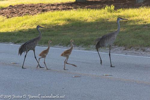Sandhill Crane Family Crossing Road